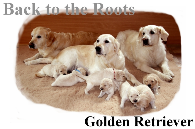 Golden Retriever - Back to the Roots